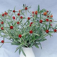 Gomphrena - Strawberry Fields - 100 Seeds