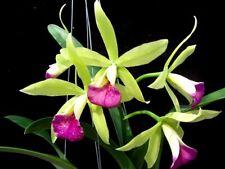 Procatavola Jairak Green Star Cute , Blooming Size, Green Purple Cattleya Orchid