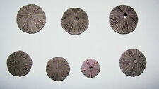7 Purple Sea Urchins From Gulf Of Mexico - New!