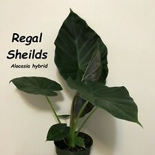 ~REGAL SHIELDS~ Alocasia AWESOME Elephant Ear Live Potd 12+inch Starter Plant
