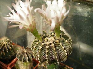 Gymnocalycium friedrichii LB 2178 agua 20 SEEDS RARE cactus cacti cactus seeds