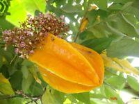 30 SEED Averrhoa carambola,Star Fruit, มะเฟื่อง