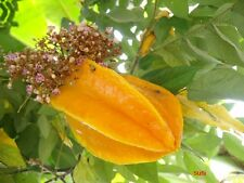 10 SEED Averrhoa carambola,Star Fruit, From Thailand 2018