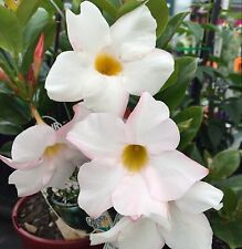 MY FAIR LADY Dipladenia sanderii white flowers Mandevilla plant in 140mmm pot