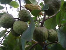 Cherimoya * 30 SEEDS  Annona cherimola  fresh clean seeds ,germinate *30*organic