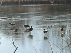 DUCKS GEESE ON ICE Canada picture photo virtual postcard #003c23 by Helena Baru