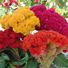 Celosia cristata Cockscomb Tall Mixed - Appx 1000 seeds - 1 gramme