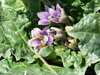 7 Graines - Mandragore Noir - Mandragora autumnalis - Curiosité botanique