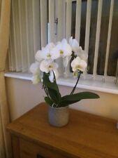 Phalaenopsis Moth orchid White seeds x10 UK