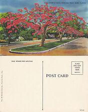 1970's ROYAL POINCIANA TREES MIAMI FLORIDA UNITED STATES UNUSED COLOUR POSTCARD
