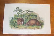 Audubon. Quadrupeds. Octavo. Lewis' Marmot. ca. 1855.