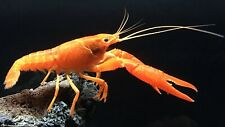 Orange Crayfish