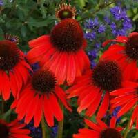 RED RUBY ECHINACEA / CONE-FLOWER FLOWER SEEDS / LONG LASTING PERENNIAL 250X