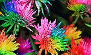 Rare Colour Rainbow Chrysanthemum Flower Seeds Daisy Snowball Colour Plant UK