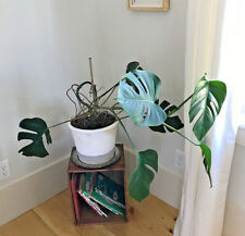 Beautiful Starter Plant Cutting - Swiss Cheese Plant Monstera Deliciosa