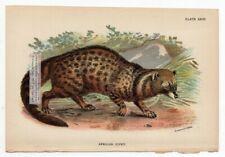 African Civet Original c1896 Chromolithography Print
