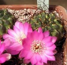 Sulcorebutia  polymorpha VS378,seeds10 pcs