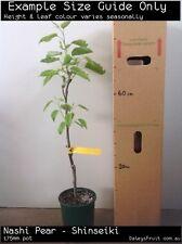 Nashi Pear - Shinseiki (Pyrus pyrifolia) Fruit Tree Plant