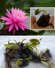 winterharte Zwergseerose Nymphea Rosennymphe Bonsai Wasserpflanzen Teichpflanzen