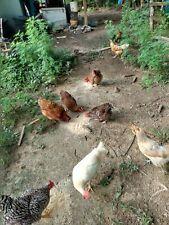 12+ Fertile Chicken Hatching Eggs Barn yard mix