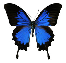 Papilio ulysses - A Lot of 25 Stunning, Unmounted A1 Specimens from Ceram Island