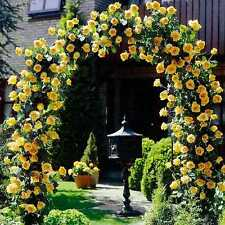 20+ YELLOW CLIMBING Rose Bush Seeds ,, Beautiful ,, USA SELLER  SHIPS FREE