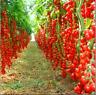 100 PCS Seeds Bonsai Tomato Plants Potted Bonsai Fruit Vegetable Home Garden NEW