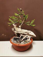 Bonsai tree shohin Tanuki updated photo 16 may  rocky juniper Starter Project