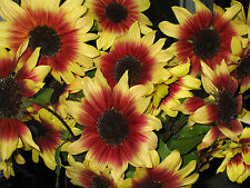 MAGIC ROUNDABOUT Sunflower | 20 Seeds | Bi-Colored & Tri-Colored AMAZING Flowers