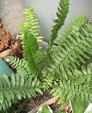 1000 Christmas Fern Spores Perennial Shade Plant