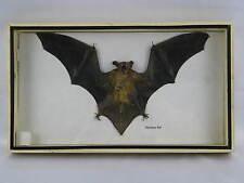 Echte exotische Fledermaus - Hairless Bat -  3D hinter Glas in Holzbox   36x20cm