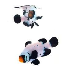 SAs Black Snowflake Special Designer Clownfish Bonded Pair WYSIWYG