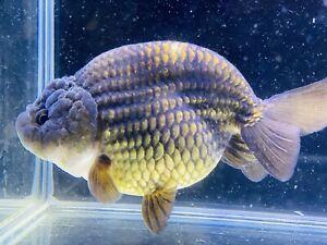 Bronz Ranchu Gold Fish Premium Grade UK Seller...!!!