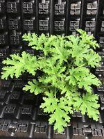 PELARGONIUM 'CITRONELLA' SCENTED GERANIUM PLANT! THE MOSQUITO PLANT!