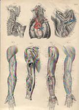 Stampa antica ANATOMIA COLLO SPALLE BRACCIA medicina 1844 Old antique print