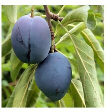10 FRESH Prune Plum Seeds - Prunus Domestica - Santa Clara Cultivar from Malta