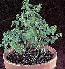 Herb Seeds - Oregano Seeds