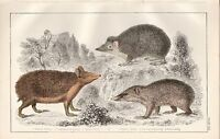 C1850 Goldsmith Cuvier Estampado ~ Hedgehog Swarthy Tendrac Largo Orejas Armed