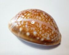 Shell CYPRAEA BRODERIPII SOMALICA Ras Hafun 77,7 mm # LIVE COLLECTED