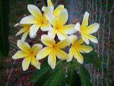 2 Unrooted Hawaiin Plumeria (Frangipani) - Flower 2 Cuttings 10/12/14 Inch Long
