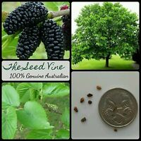 20+ BLACK MULBERRY TREE SEEDS (Morus nigra) Edible Fruit Sweet Shade Popular