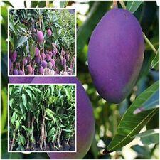"Mango Tree Plant Grafted ""Nam Dok Mai"" Purple Tall 18'' Exotic Fruit Tropical"