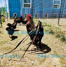 6 Black Phoenix Chicken Fertile Hatching Eggs Phoenix X Kuro Kashiwa X Tomaru