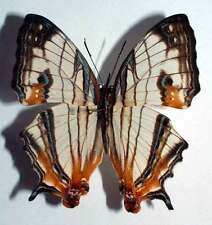 CYRESTIS ACHATES - unmounted butterfly