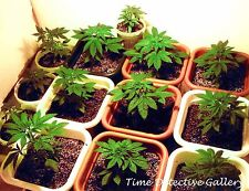 Marijuana Seedlings - THIS IS A PHOTO PRINT NOT MARIJUANA PLANTS