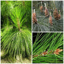 50 semi di Pinus yunnanensis, Pino dello Yunnan, semi bonsai