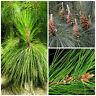 10 semi di Pinus yunnanensis, Pino dello Yunnan, semi bonsai