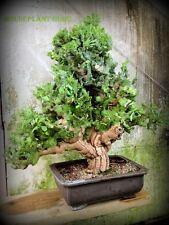 1 Euphorbia Neriifolia Cactus Succulent Plant caudex agave cutting bonsai tree
