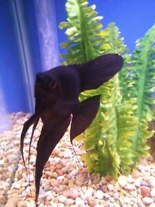 Beautiful Black Angelfish Dime Size School of 6