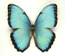 Unmounted Butterfly/Morphidae - Morpho helenor peleides, male, Colombia